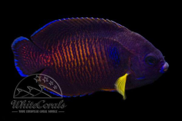 Centropyge bispinosa - Tigertail - Mauritius (RARE)