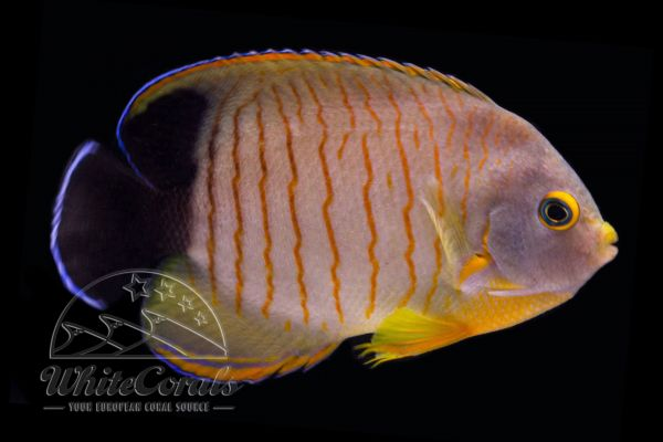 Centropyge eibli - Red Stripe Angelfish
