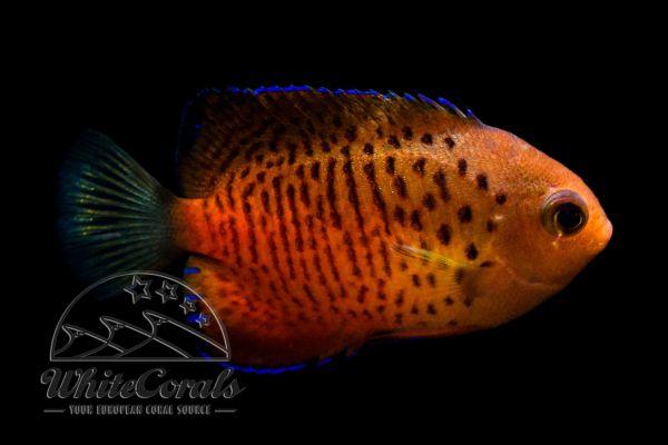 Centropyge ferrugata - Rusty Angelfish