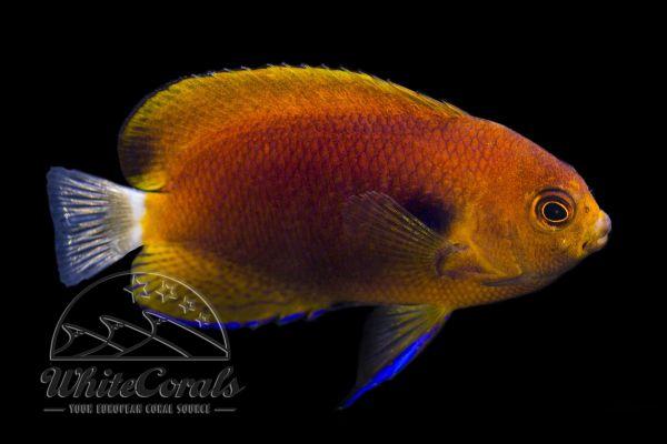 Centropyge fisheri - Fisher's Dwarf Angelfish