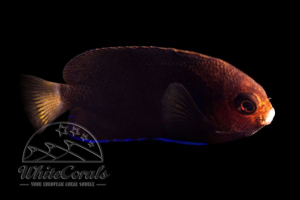 Centropyge flavicauda - Whitetail angelfish