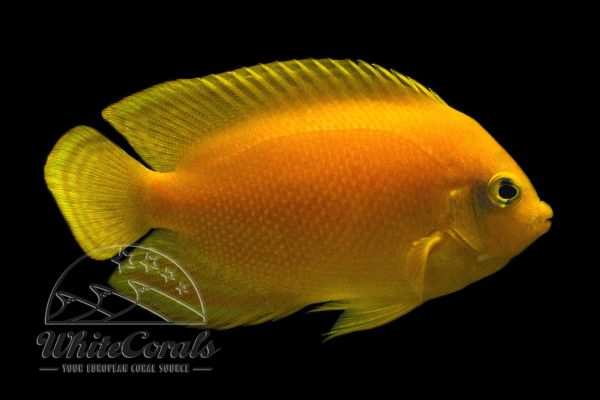 Centropyge heraldi - Yellow angelfish