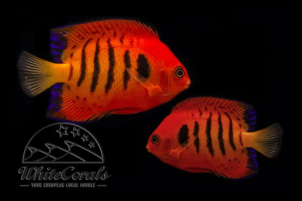 Centropyge loricula - Flame angel Pair