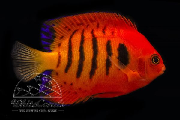 Centropyge loricula - Flammen-Zwergkaiserfisch