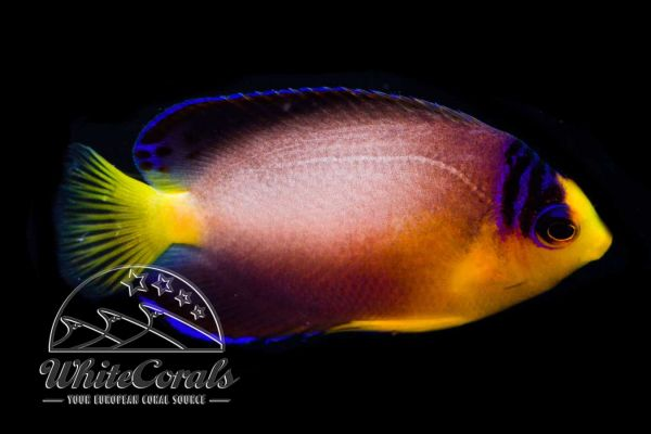 Centropyge multicolor - Multicolor angelfish