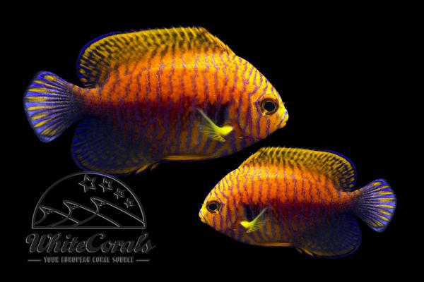 Centropyge potteri - Potters Zwergkaiserfisch (Paar)