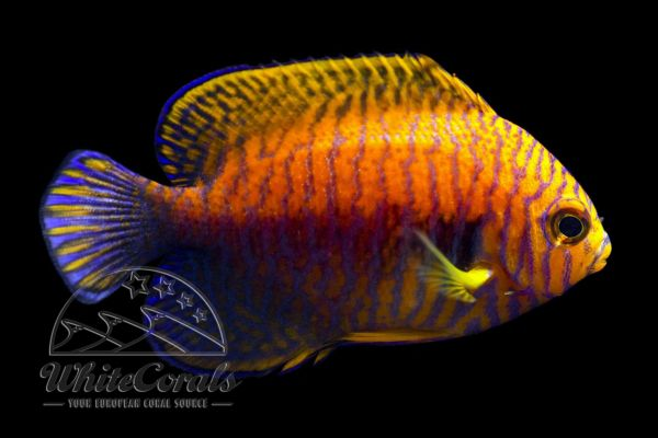 Centropyge potteri - Potters Zwergkaiserfisch