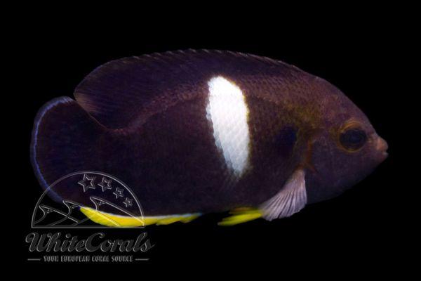 Centropyge tibicen - Schlüsselloch-Zwergkaiserfisch