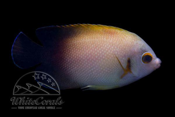 Centropyge vrolikii - Pearlscale angelfish