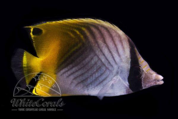 Chaetodon auriga - Fähnchen-Falterfisch