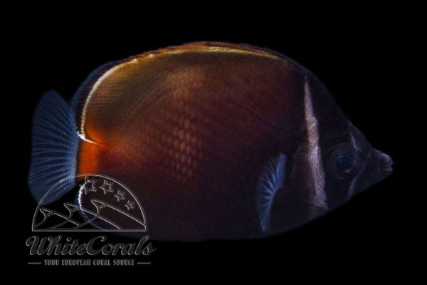 Chaetodon collare - Redtail Butterflyfish