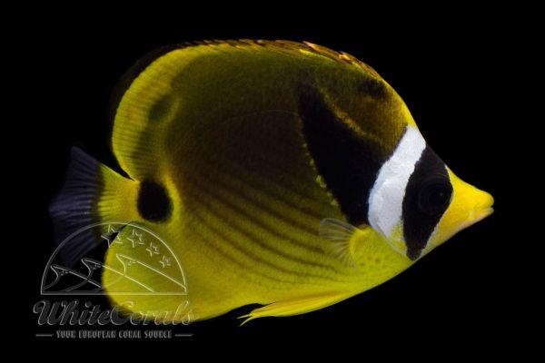 Chaetodon lunula - Raccoon Butterflyfish