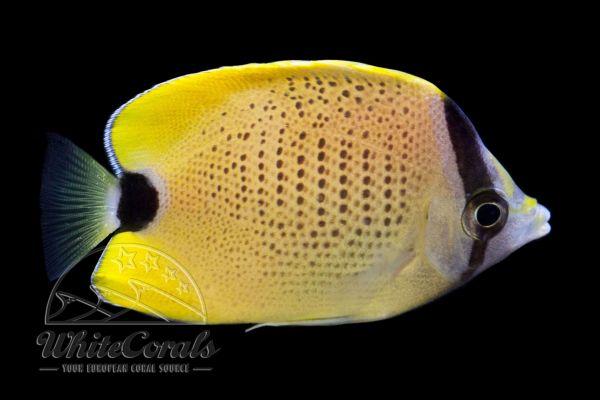 Chaetodon miliaris - Lemon Butterflyfish
