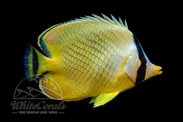 Chaetodon rafflesii - Latticed butterflyfish