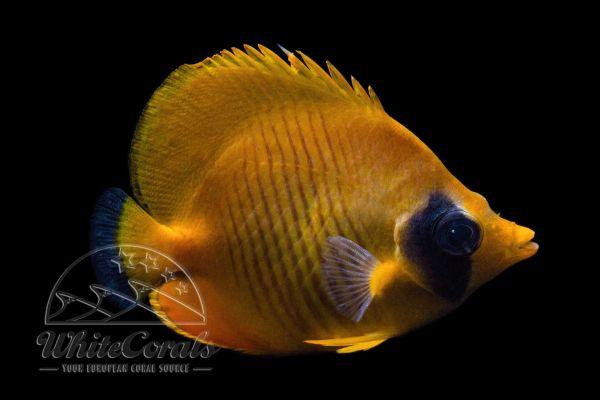 Chaetodon semilarvatus - Bluecheek Butterflyfish