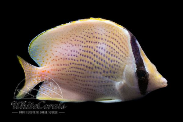 Chaetodon citrinellus - Speckled Butterflyfish
