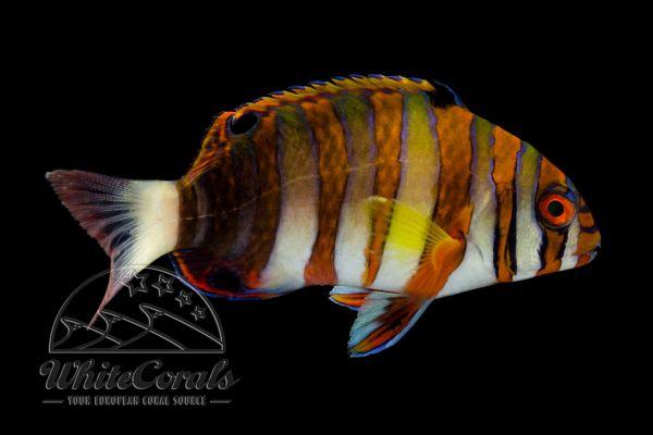 Choerodon Fasciatus - Harlekin Lippfisch (Rarität!)