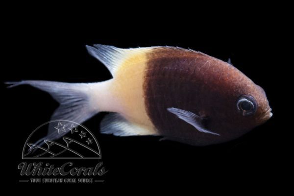 Chromis dimidiata - Half-and-half Chromis