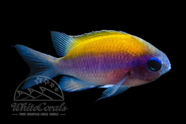 Chromis insolata - Sunshine Chromis