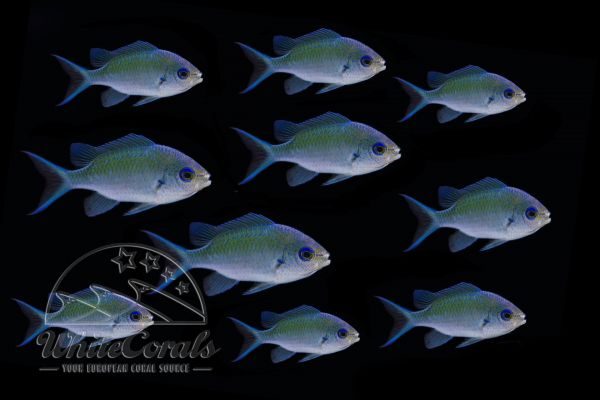 Chromis viridis - Blue-Green Reef Chromis - pack of 10