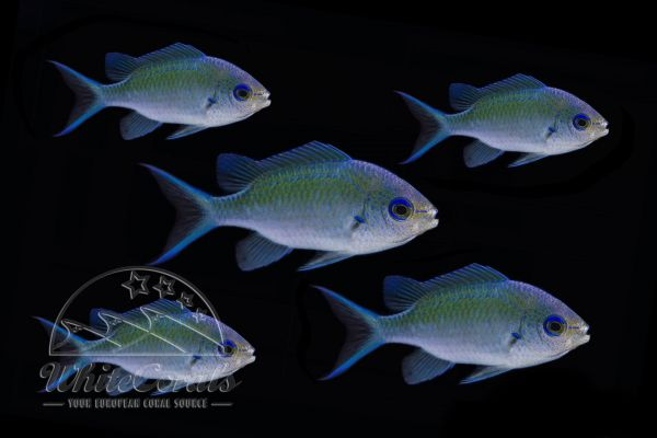 Chromis viridis - Blue-Green Reef Chromis - pack of 5