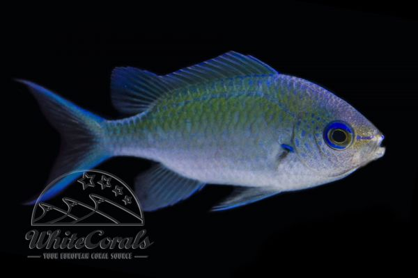 Chromis viridis - Blue Green Damselfish