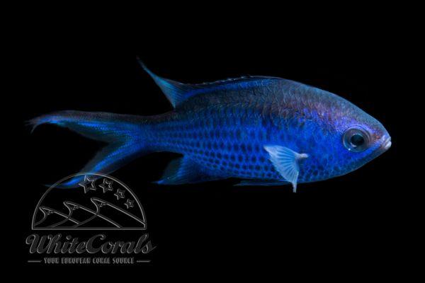 Chromis cyanea - Blaues Schwalbenschwänzchen