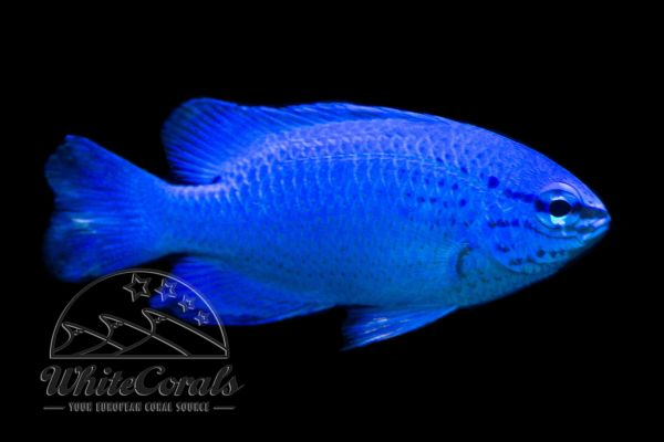 Chrysiptera cyanea - Blue Damselfish