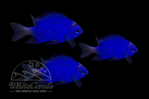 Chrysiptera springeri - Blue Sapphire Damselfish (3-Pack)