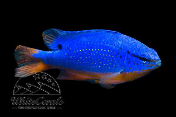 Chrysiptera taupou - Fiji Blue Devil