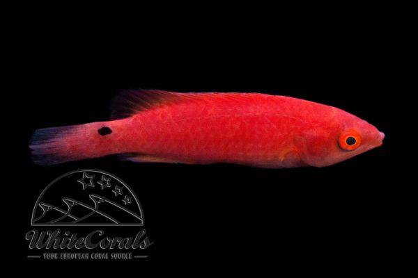 Cirrhilabrus adornatus - Debelius-Zwerglippfisch (Weibchen)