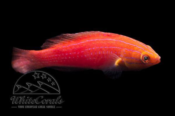Cirrhilabrus cf. rubriventralis - KwaZulu Fairy Wrasse