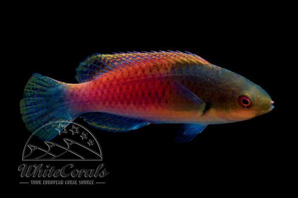 Cirrhilabrus cyanopleura - Blauschuppen-Zwerglippfisch