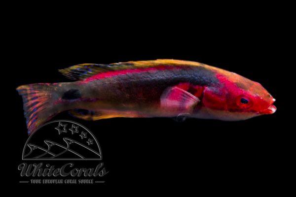 Cirrhilabrus exquisitus - Pracht-Zwerglippfisch