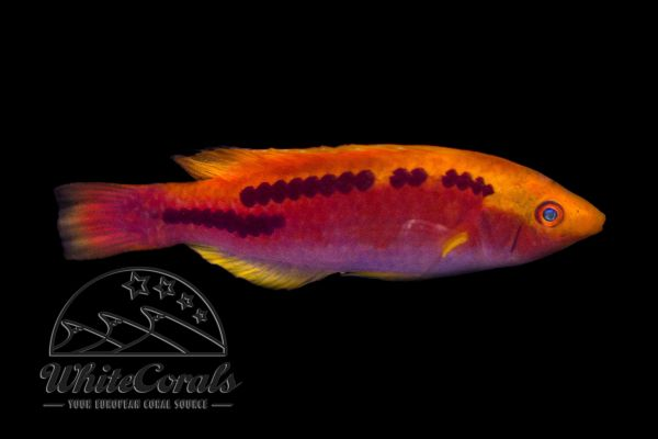 Cirrhilabrus lubbocki - Lubbocks Zwerglippfisch