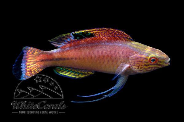 Cirrhilabrus pylei - Pyles Zwerglippfisch (Maennchen)