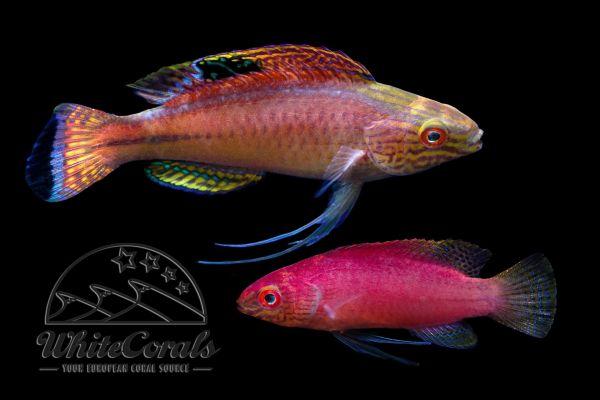 Cirrhilabrus pylei - Pyles Zwerglippfisch (Paar)