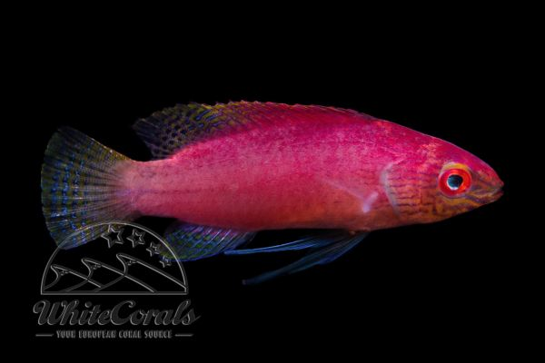 Cirrhilabrus pylei - Blue Margin Fairy Wrasse (Female)