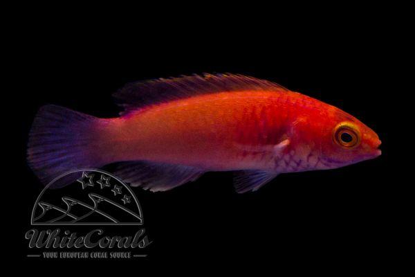 Cirrhilabrus rubrisquamis - Rosaschuppen-Zwerglippfisch