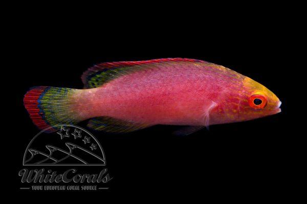 Cirrhilabrus rubrimarginatus - Rotrand-Zwerglippfisch