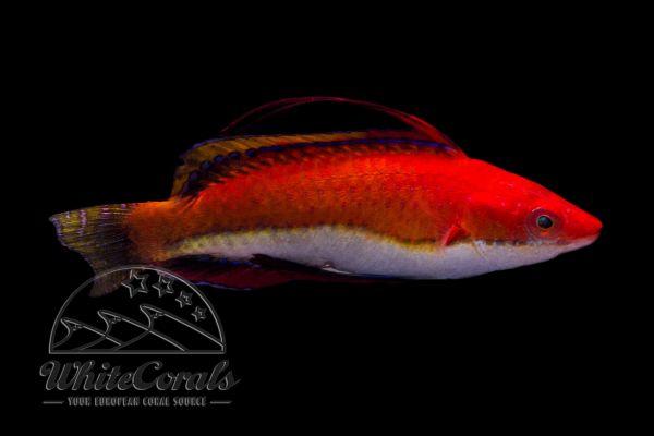 Cirrhilabrus rubriventralis - Geselliger Zwerglippfisch (Männchen)