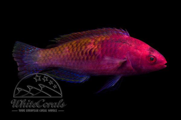 Cirrhilabrus rubrisquamis - Rosaschuppen-Zwerglippfisch (Maennchen)