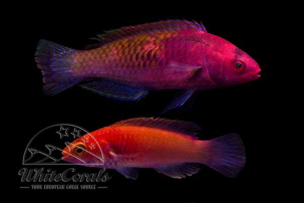 Cirrhilabrus rubrisquamis - Rosaschuppen-Zwerglippfisch (Paar)
