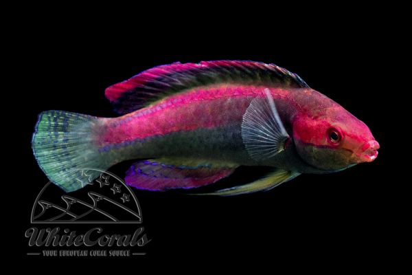 Cirrhilabrus temminckii - Threadfin Fairy Wrasse