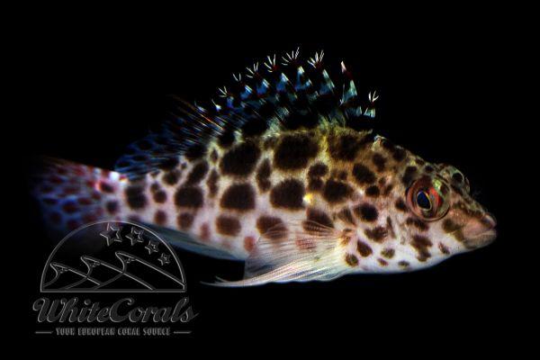 Cirrhitichthys aprinus - Gefleckter Korallenwächter
