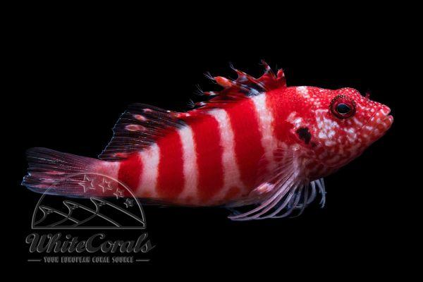 Cirrhitops fasciatus - Rotgebänderter Korallenwächter