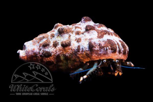 Clibanarius sp. - Einsiedlerkrebs (verschiedene Arten)