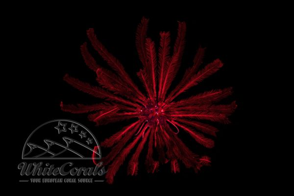 Comanthus sp. - Reddish Feather Star