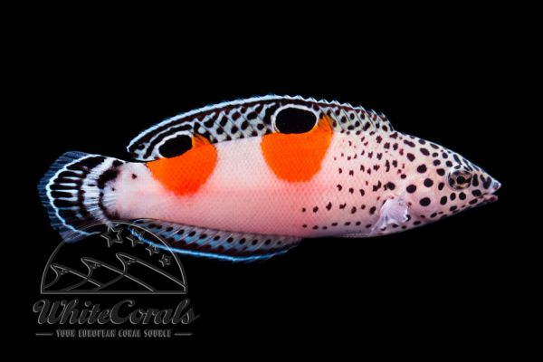 Coris aygula - Twin Spot Coris (juvenile)