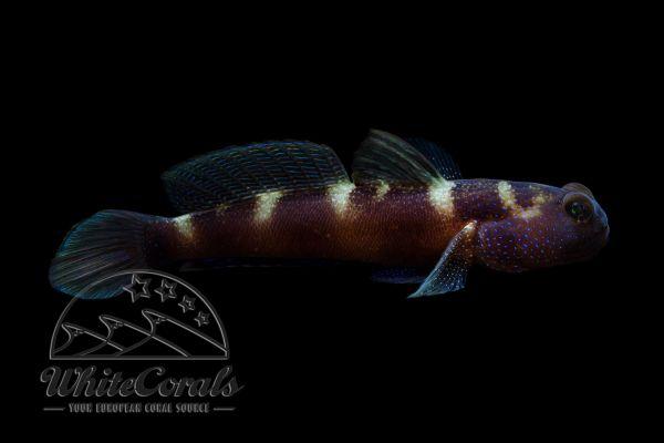 Cryptocentrus fasciatus - Blaupunkt-Wächtergrundel